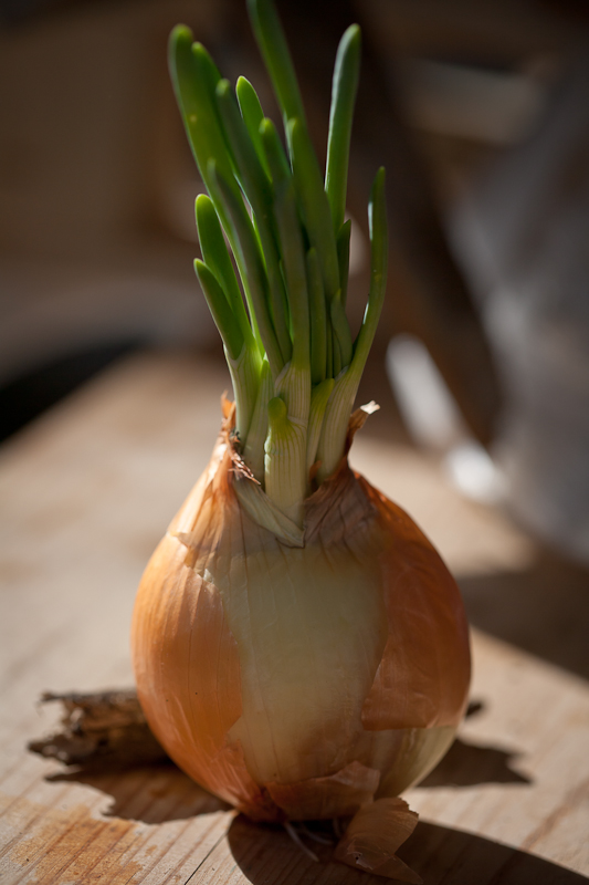 The Mother Onion...Robust