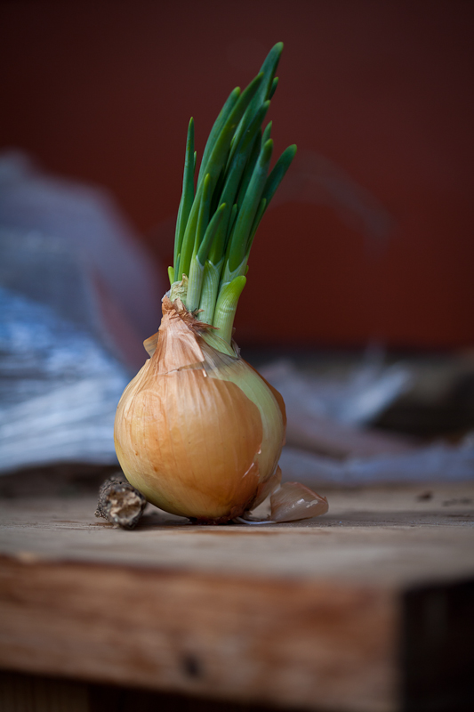 The Mother Onion...Determined